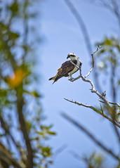 Osprey's Watch (Chase Hoffman) Tags: color bird animals fauna canon eos branch florida telephoto perch perched sanibel sanibelisland osprey birdofprey 400mm canonef100400mmf4556lisusm chasehoffman canoneos5dmarkii 5dmarkii 5dmkii chasehoffmanphotography