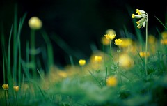the (floral) ghost-house (dapalmerpeter (slow & low)) Tags: summer black flower floral grass zeiss dark spring buttercup bokeh ghost meadow jena carl horror 55 pancolar dotterblume himmelschlssel dapalmerpeter