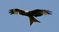 Red Kite no 5, Cliveden (Anita K Firth) Tags: blue red kite bird nature flying wings skies tail beak may raptor nationaltrust bucks 2012 talons redkite clivedenhouse may2012