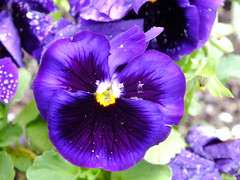 Pansy At The Church (RonG58) Tags: pictures new trip travel flowers light plants usa plant flower church nature landscape geotagged botanical photography photo spring day image photos wayne maine pansy picture images flowerbed photograph floralfantasy thegalaxy fugifilm topshots mixedflowers photosandcalendar flowersarebeautiful macroelsalvador macroflowerlovers domesticflowers exquisiteflowers mimamorflowers floraanffaunaoftheworld flickrflorescloseupmacros panoramafotografico greatshotss natureandpeopleinnature theoriginalgoldseal esenciadelanaturaleza finepixhs20exr magicmomentsinyourlife sunrays5 flickkrsportal magicmomentsinyourlifelevel1 rong58 waynecommunitychurch