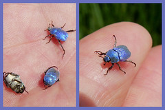 Blue jewels- Hoplia coerulea (Marlis1) Tags: spain beetle insects catalunya insekten marlies lecordonbleu scarabaeidae ebrodelta lampolla hopliacoerulea blatthornkäfer electricbluebeetle