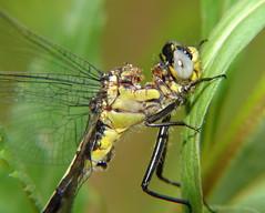 (Josh_G) Tags: macro nature closeup wisconsin bug insect dragonfly eaten damage damaged clubtail attacked sonydscf828 predation odonate macrolife