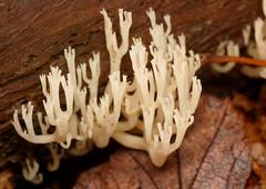 crown coral (ophis) Tags: agaricomycetes russulales auriscalpiaceae amylostereaceae artomyces artomycespyxidatus crowncoral