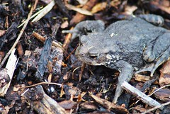 Common Toad (Shot 58 Degrees (The modern Day Hippy)) Tags: wood brown nature beauty animal composition scotland details amphibian toad common commontoad