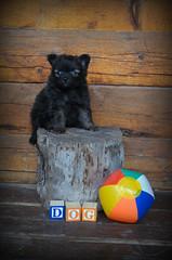 (kristi_Nikon_D1X) Tags: bear dog cute puppy pomeranian