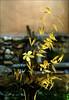 Simple summer bouquet  /  Una flor de jasmin con un poco de avena loca (Benissiva Calling) Tags: flower yellow gold panasonic bouquet wildoats ramodeflores avenaloca colordorado dmcg3