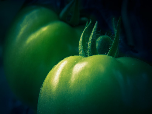 Close-up of Tiny Growing Tomatos (TheG-Forcers (Mike))