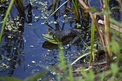Indian Head Maryland Rail Trail (Bravo213) Tags: bird bike naked nude dragonfly path candid bare frog swamp marsh cy challengeyouwinner friendlychallenges indianheadmarylandrailtrail
