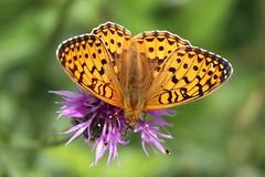 Dark Green Fritillary - Lullingstone Country Park (mikehook51) Tags: flowers wild nature kent wildlife meadows butterflies parkland greaterknapweed darkgreenfritillary lullingstonecountrypark
