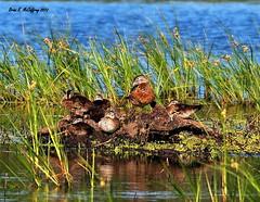 Wood Duck family... (delrcher) Tags: 300mm tele 20 f28 e5 zd 600mm f57