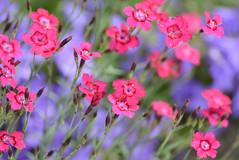 Joy (capribeach1) Tags: pink summer flower sommer joy blumen lila bloom 2012 violett blten purble nikond7000