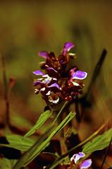 Flower 2 HDR (Ke7dbx) Tags: flower taken with canon t2i550d om olympus 50mm 18 hoya macro filter dslr slr seabeck washington t2i 550d sumer summer kitsap love hdri hdr patreon