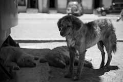 Dog Tired (vividcorvid) Tags: china shadow dog pet abstract animal mammal asia sleep places tibet tired shade exhausted domesticated