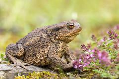 Bufo bufo (Erdkröte) (Heiko Wayne) Tags: macro canon germany deutschland eos hessen toad common makro tamron marburg 180mm 60d wildlifebufobufoerdkröte erdrköte
