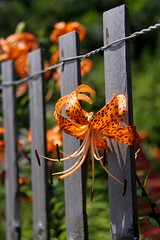 Lovely Lily in Love Ladies (secondhobby) Tags: orange flower canon fence lily nj lbi bloom spotted tigerlily