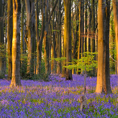 Micheldever Bluebells (Marcus Reeves) Tags: wood uk greatbritain england sunlight tree bluebells forest woodland landscape hampshire micheldever