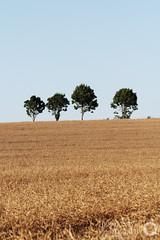 4 Trees in a Field