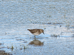 Least Sandpiper (Potter Marsh)