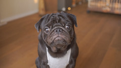 (Pug_nametaro) Tags: dog pug everyday pugs  puglove  blackpug
