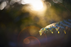 (drfugo) Tags: wood light sunset sun fern green nature forest bokeh flare canon5d ardingly helios44258mmf20 flickrsharpeningisacruelmistress