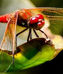Red Dragon. (Omygodtom) Tags: red macro green me nature bug fly nikon dragon bokeh watching setting tamron 90mm