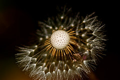 Taraxacum officinale - Seedhead [EXPLORED] (csiverts) Tags: california sanjose dandelion explore fairy taraxacum taraxacumofficinale officinale explored dandelionfairy