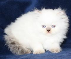 DPP_0001 (Buffalo Creek Farms) Tags: for sale kittens himalayan persiankittensforsale buffalocreekfarms buffalocreekfarmscattery buffalocreekfarmspersianbreeder