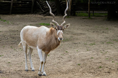 We have two ears and one mouth so that we can listen twice as much as we speak. (alexa.pricop) Tags: travel light wild love nature animals zoo amazing nikon perfect hungary great hobby passion 1855mm lovely dslr d3200 nyiregyhaza