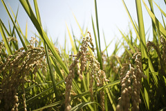 rice (jeay_550) Tags: tainan taiwan rice