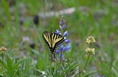 Western Tiger Swallowtail (vietnamvera) Tags: canadianbutterflies butterfliesofcanada canadianlepidoptera canadaflorafauna canadianrockies canadianrockymountains