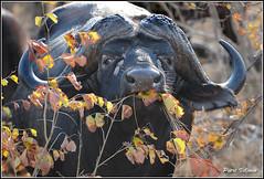 Buffalo (Petri_) Tags: african buffalo wildlife facing southafrica nikond300 nikkor70300mmf4556 outf outdoor