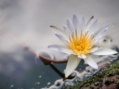 FR240588 (Two people two cameras) Tags: indonesia bali asia travel photography photo nature lotus lotusflower flower fragile beautiful dof bokeh