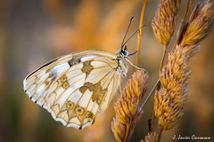 Sra. (AvideCai) Tags: insectos macro mariposa tamron90 avidecai