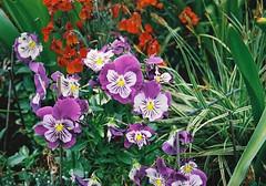 Purple and White Stripy Pansies (Matthew Huntbach) Tags: purple pansies stripy purpleandwhite