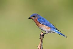 Eastern Bluebird (isaacgrant) Tags: ngc eastern bluebird