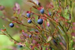 Last blueberries (liisatuulia) Tags: mustikka porkkala berries blueberry