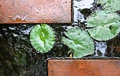 (brunomalfondet) Tags: spice garden penang malaysia nnuphars eau reflets
