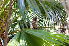 IMG_7812.jpg (M Bee) Tags: animals barkingowl bird