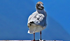 Mouette (laurent KB) Tags: lacdecme italy italie bellagio mouette oiseau
