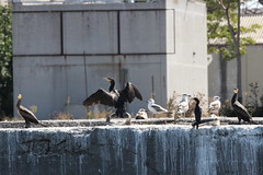Cormorant and seagull (polemarch_soysal) Tags: goldenhorn seagull cormorant
