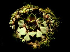 Sempervivum #2: Subverting the fisheye (P'sych) Tags: sempervivum moss lowkey singlelight samyang75mgfisheye fisheye