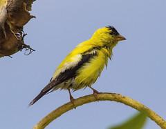 American Goldfinch, male (AllHarts) Tags: maleamericangoldfinch shelbyfarmsparkpublicgardens memphistn naturescarousel ngc naturesspirit thesunshinegroup