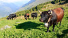 Haute Route - 60 (Claudia C. Graf) Tags: switzerland hauteroute walkershauteroute mountains hiking cow