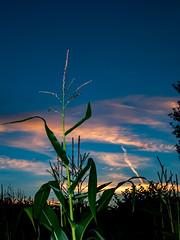 Sunset Crewe (alex thurston) Tags: sunset goldenhour bluehour cornfield tree silhouette flash house railway tracks lightstream bluesky longexposure speedlight flashgun