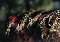 Wind needed. (Omygodtom) Tags: oregon outdoors grass digital diamond golden macro bokeh field tamron90mm texture nature nikon d7100 abstract