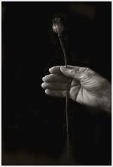 Hands #1; Poppy (hamsiksa) Tags: plants seeds fruit seedpods poppy botany strms hand mains manos human person relationship studio blackwhite woman older