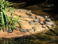 """Le Parc des Oiseaux d'Iguaçu: des tortues et de petits caïmans <a style=""""margin-left:10px; font-size:0.8em;"""" href=""""http://www.flickr.com/photos/127723101@N04/29352041520/"""" target=""""_blank"""">@flickr</a>"""