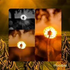 I cant decided which dandelion shot I like so.....heres 3 different edits Dandelion Fragility Nikon Photography Lense Flare Beauty In Nature Nikon D7000 Ontario, Canada Canada Coast To Coast London Ontario Outdoor Photography Close-up Nature Outdoors Fiel (timmahh67) Tags: dandelion fragility nikonphotography lenseflare beautyinnature nikond7000 ontario canada canadacoasttocoast londonontario outdoorphotography closeup nature outdoors field tranquility nikonlife ruralscene sunset nonurbanscene defocus sunbeam orangecolor backlit