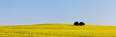 Twin_Flowers (Beetwo77) Tags: fuji canola flowers farm rural pano hand held xt1 90mm tourism