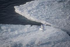 Ivory gull (Elvar H) Tags: arcticocean helmerhansen pagophilaeburnea siarctic ice iceedge ismåke ísmáfur